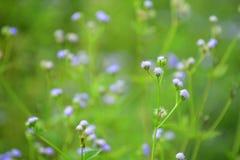 Violet Flower con un fondo verde molto molle Fotografia Stock