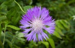 Violet flower cornflower macro on green grass Stock Photos