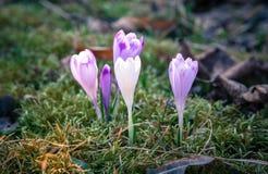 Violet flower - crocus Royalty Free Stock Photography