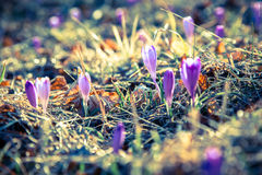 Violet flower - crocus Royalty Free Stock Photo