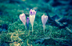 Violet flower - crocus Royalty Free Stock Photos