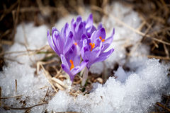 Violet flower - crocus Stock Photos