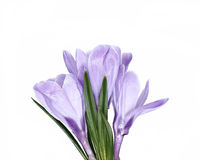 Violet flower of crocus isolated Stock Photos