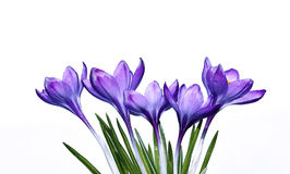 Violet flower of crocus isolated Stock Photo