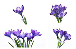 Violet flower of crocus isolated Royalty Free Stock Image