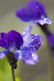 Violet flower with dew Stock Photography