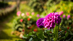 Violet Flower. The flower in Doi Suthep, Thailand Royalty Free Stock Images