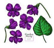 Violet flower drawing. Vector hand drawn floral set. Viola sketch. Wild botanical. Garden bloom. Great for tea packaging, label, icon, greeting cards, decor stock illustration