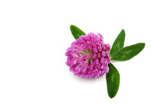 Violet flower of the dutch clover Royalty Free Stock Photos