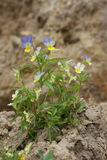 Violet flower on earth dug up. Pansy Royalty Free Stock Images