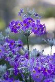 Violet Flower en rocío Foto de archivo