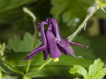 Violet flower of European or Common columbine, Aquilegia vulgaris, close-up, selective focus, shallow DOF Royalty Free Stock Photo