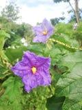 Violet flower. S of Brazilian potato tree Stock Photo