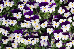 Violet, flower, flowers, naturel, colors, amethyst, beautiful, shades of blue, plants, viola, leaves, bedding plants, ecology, orn Royalty Free Stock Image