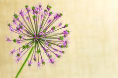 Violet flower in the form of a ball on a gentle beige background royalty free stock photography