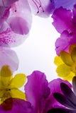 Violet Flower Frame. Against White Background Stock Image