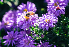 Violet flower Royalty Free Stock Image