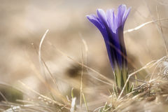 Violet flower gentian closeup Stock Photo
