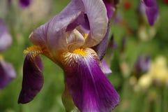 Violet flower of German Iris in spring Stock Images