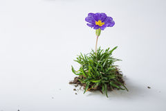 Violet flower in grass Royalty Free Stock Photography