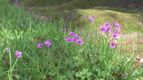 Violet Flower in green grass. stock video