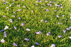 Violet flower on green grass Royalty Free Stock Photography