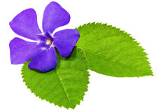 Violet flower on green leaf .Closeup on white background. Royalty Free Stock Photos