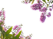 Violet flower and green leaves isolated on white background Stock Photography
