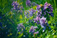 Violet flower in Green Summer Grass Royalty Free Stock Photography
