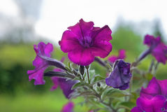 Violet flower growing in a flower bed Royalty Free Stock Photos