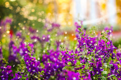 Violet flower have watering time. Every day the violet flower so happy when watering time royalty free stock image