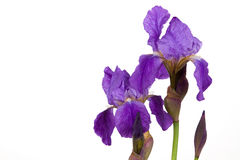 Violet flower iris Stock Images