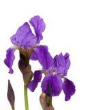 Violet flower iris Stock Photo