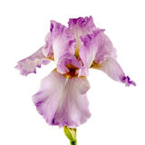 Violet flower of iris, isolated on white background Stock Photos