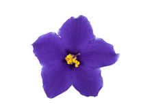 Violet flower isolated Royalty Free Stock Photo
