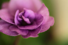 Violet flower isolated on green background Stock Photo