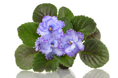 Violet flower with leaves isolated Royalty Free Stock Images