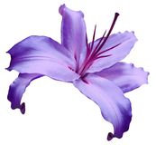 Violet   flower  lily on white isolated background with clipping path  no shadows. Closeup. Flower for design, texture, background Stock Photo