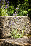 Violet flower with long stalk and small blossoms. Blooming by the sandstone block Stock Photo