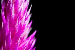 Violet flower. Macro of violet flower with black background Stock Image