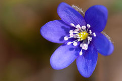 Violet flower macro royalty free stock photo