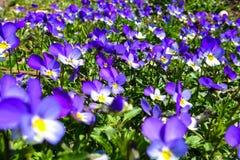 Violet flower Stock Image