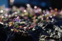 Violet flower in morning light. With bokeh background Royalty Free Stock Images