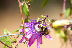 Violet Flower Of Passionflower . Passiflora Macro With Bee. Blurry Royalty Free Stock Photos