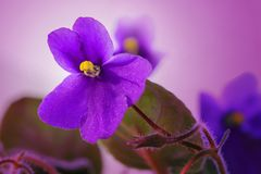 Violet Flower Of Viola Royalty Free Stock Photo