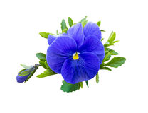 violet flower . Pansies on White background. flower Pansy Stock Photos