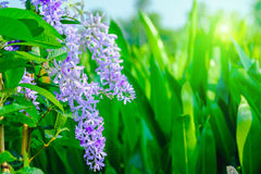 Violet flower of Petrea Flowers on tree in Garden. Stock Photography