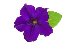 Violet flower of petunia with green leaves isolated on white background Royalty Free Stock Images