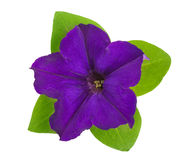 Violet flower of petunia with green leaves isolated on white background Stock Photos