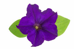Violet flower of petunia with green leaves isolated on white background Royalty Free Stock Image